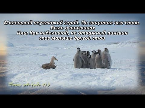 Адели - маленький герой. Как небольшой, но отважный пингвин спас малыша другой стаи