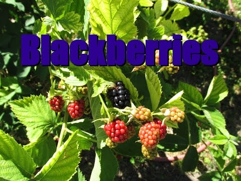 Growing Blackberries In Container From Mother Plant