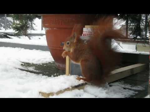 Verrückte Eichhörnchen im Schnee / Crazy red squirrels in the snow [HD]