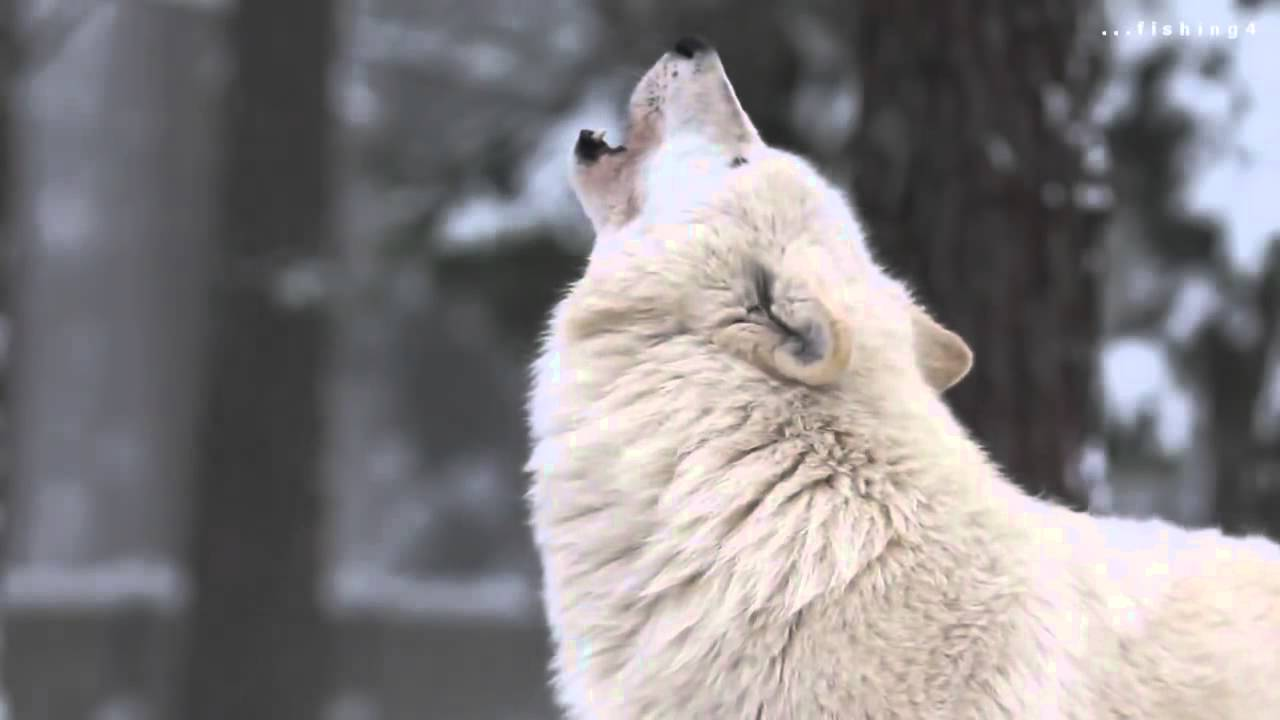 Lobos Aullando Youtube