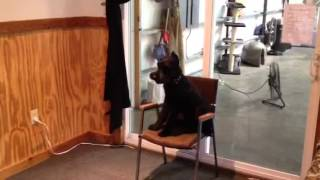 "Giant Schnauzer ""harley"" Obedience Protection Trained Affordable Non-shedding Personal Dog"