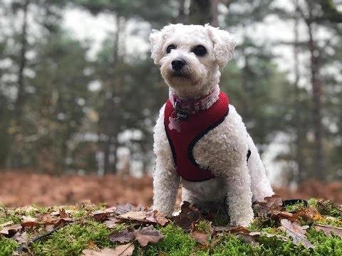 Poppy - 2 year old Bichon Frise - 6 Weeks Residential Dog Training