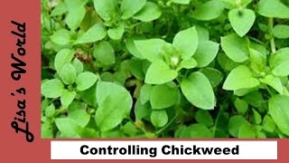 How To Keep Chickweed Under Control with Lisa's World