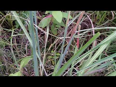 lote de pasto Carimagua (Andropogon Gayanus) finca Buenos Aires, Venadillo Tolima 22/12/16 IV
