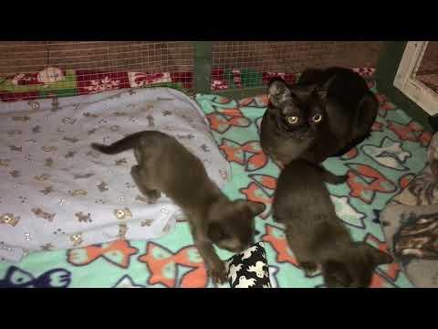 Four week old Burmese kittens playing.