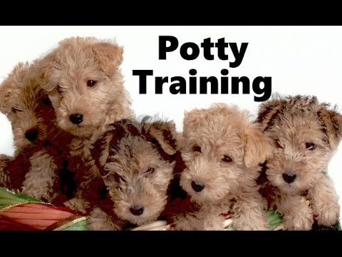 How To Potty Train A Lakeland Terrier Puppy - Lakeland Terrier Training - Lakeland Terrier Puppies