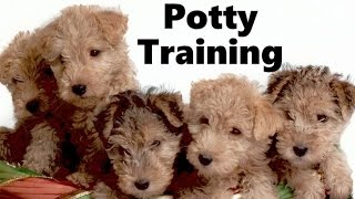 How To Potty Train A Lakeland Terrier Puppy  Lakeland Terrier Training  Lakeland Terrier Puppies