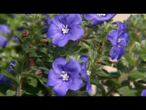 Blue My Mind offers flowers until first frost