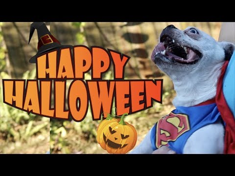 Putting Halloween Costumes On Boston Terrier Dogs