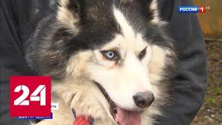 Смотреть видео В Москве закрыли хаски-парк, где издевались над животными - Россия 24 онлайн
