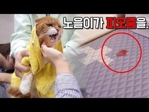 고양이 노을이 피오줌을 싸다 NOEL THE CAT'S PEEING BLOOD!!【수리노을 SURI&NOEL】