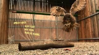 WATCH: World's Largest Owl in Super Slow Motion