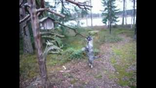 Schnauzer Detective Dog Tree Car Woods Etc Monk Theme