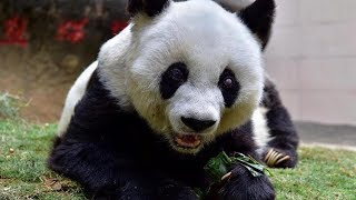 World's oldest panda Basi passes away at the age of 37