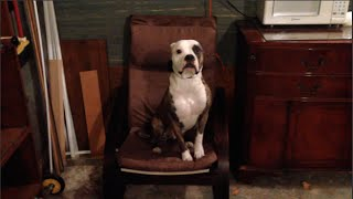 Chicago Dog Training / Marge The American Bulldog / Board & Train With Mannered Mutts
