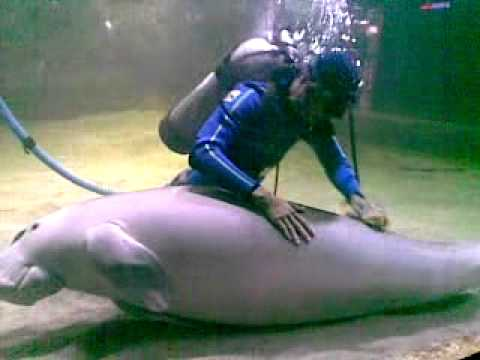 The love of Dugong and diver in SeaWorld