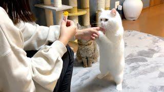 おやつが欲しすぎて直立しておねだりする猫!