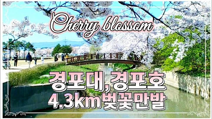 [강릉벚꽃명소]경포대경포호수벚꽃길 낮과밤/보고또보고드라마 촬영지/경포조각공원/3월1일독립공원/Korea Travel Cherry Blossom Road
