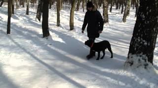 Дрессировка щенка кане корсо Арни http://dogclass.ru/