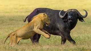 Охота Львов на Буйволов. Такого вы еще не видели