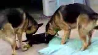 Chocolate Labrador Puppy Chasing 2 German Shepherds