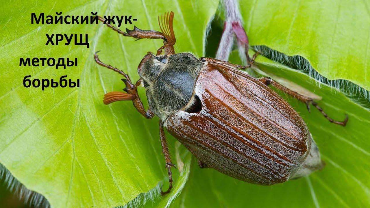 Майский жук - ХРУЩ методы борьбы.