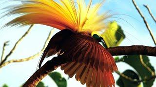 Video 5 Burung Cendrawasih Tercantik di Dunia download MP3, 3GP, MP4, WEBM, AVI, FLV Oktober 2018