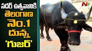 Telangana's No:1 Bull 'Guzar' Ready for Sadar Festival 2019 || #Sadar Bulls || Hyderabad || NTV