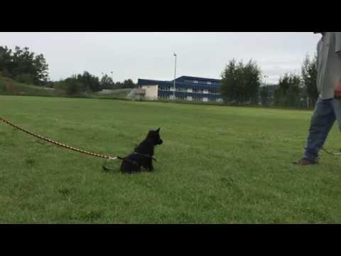 German Shepherd Dog puppy flirt pole training