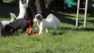 Dalmatian Mix Puppies For Sale