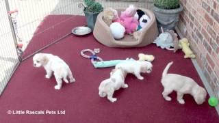 Exquisite Pugalier Puppies