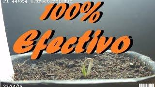 Cómo germinar una semilla más rápido-100% efectivo. | Huerto Urbano Villarreal