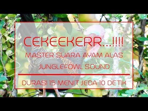 MASTER SUARA AYAM HUTAN + AYAM ALAS + JUNGLEFOWL SOUND - DURASI 15 MENIT