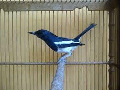 Kicauan Merdu Burung Kacer