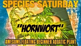 Species Saturday: Hornwort | Great Beginner Aquatic Plant