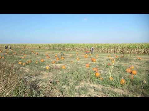 Pumpkin Picking at Windy Acres Farm in Calverton, NY