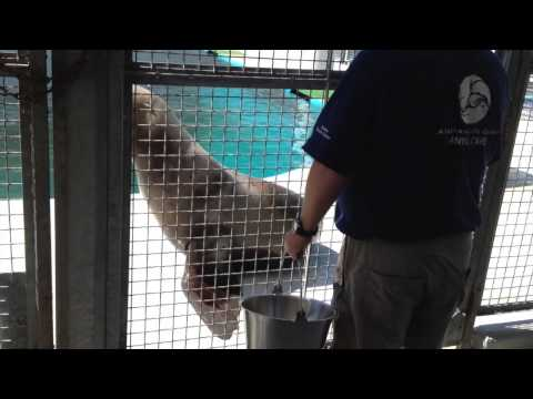 Steller Sea Lions at the Alaska SeaLife Center
