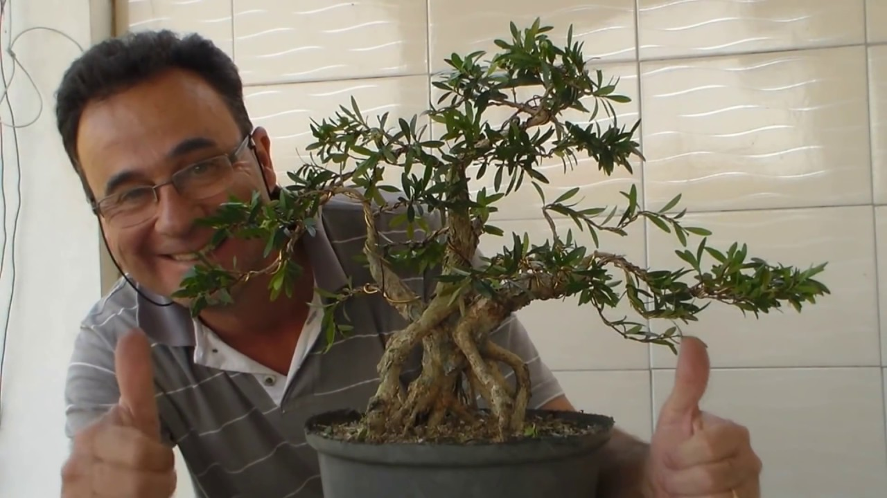 Ginseng Ficus Bonsai Avaré - Cerejeira - Youtube