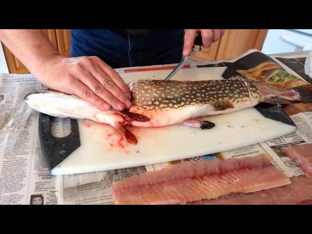 How to Clean and Fillet a Northern Pike (with Pictures) - wikiHow