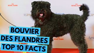 Bouvier des Flandres  TOP 10 Interesting Facts