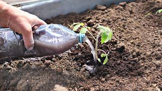 В мае июне после высадки помидор полейте этим рассаду! Томат не болеет и  сразу идет в рост!