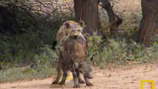 Repeat youtube video Spotted Hyenas