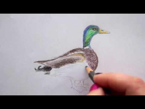 Ente Zeichnen Lernen Vogel Malen