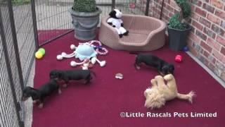 Little Rascals Miniature Dachshund Puppies