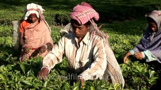 Women workers pluck tea leaves in Assam
