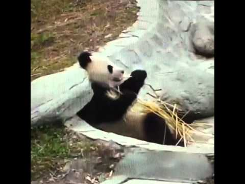Wolong National Nature Reserve - Panda eating in pool pit