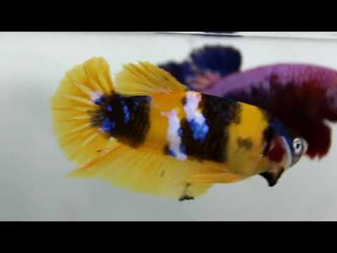 Betta  Malaysia  Betta Yellow Koi