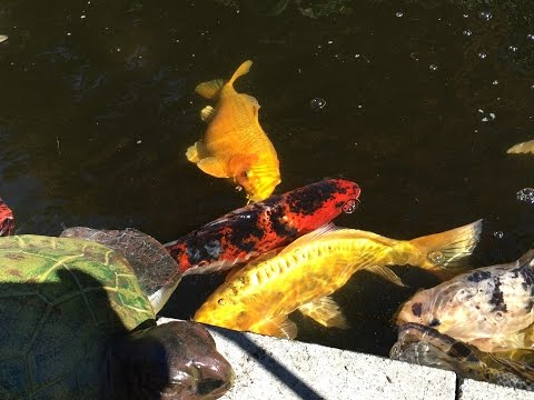 KEEP HERONS FROM EATING KOI AND GOLDFISH IN THE POND TIPS AND TRICKS