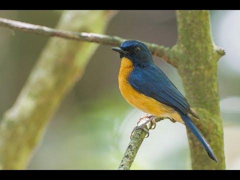 Suara Burung Sulingan / Sikatan Bakau & Video di Alam (Mangrove Blue Flycatcher)