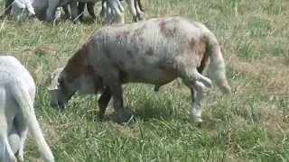 Katahdin Sheep,  BUL 2013 ram lambs
